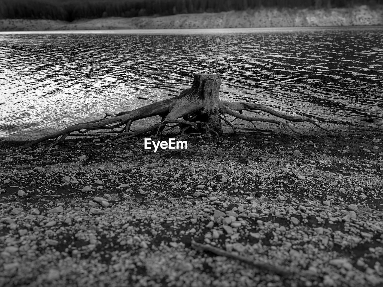 Dead Tree On Lakeshore