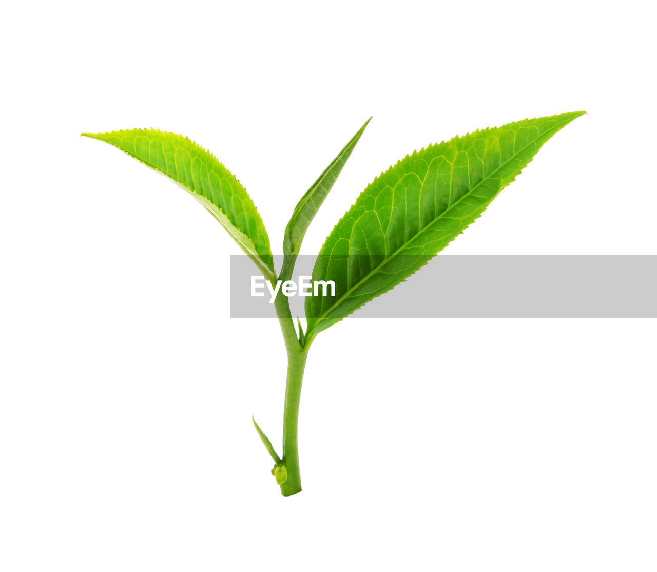 leaf, plant part, green color, white background, studio shot, cut out, nature, plant, no people, close-up, beauty in nature, medicine, herb, food and drink, herbal medicine, growth, freshness, indoors, food, plant stem, care