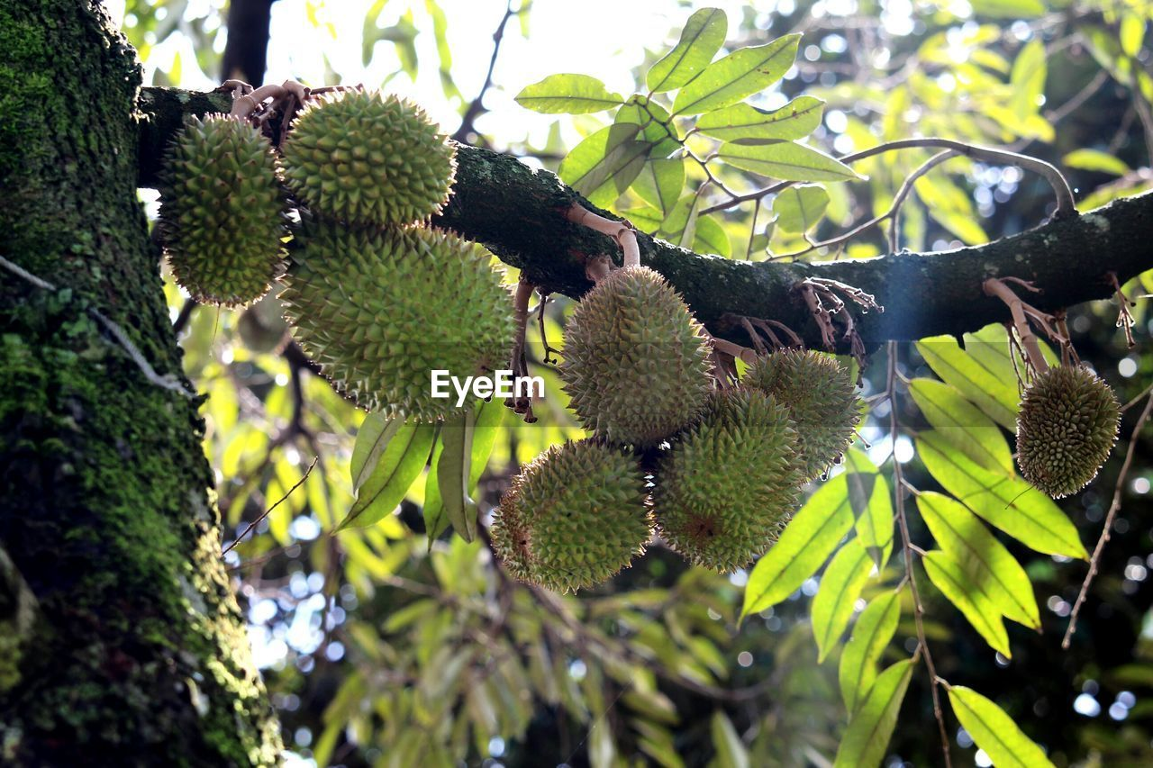 plant, growth, tree, no people, leaf, plant part, fruit, food and drink, nature, green color, day, food, healthy eating, close-up, beauty in nature, freshness, focus on foreground, selective focus, hanging, outdoors, spiky