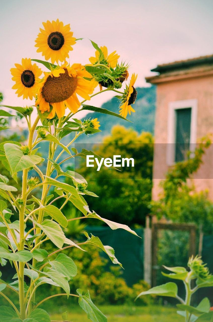 plant, flower, flowering plant, growth, focus on foreground, architecture, freshness, building exterior, built structure, nature, plant part, leaf, beauty in nature, flower head, building, no people, fragility, close-up, vulnerability, yellow, sunflower, outdoors