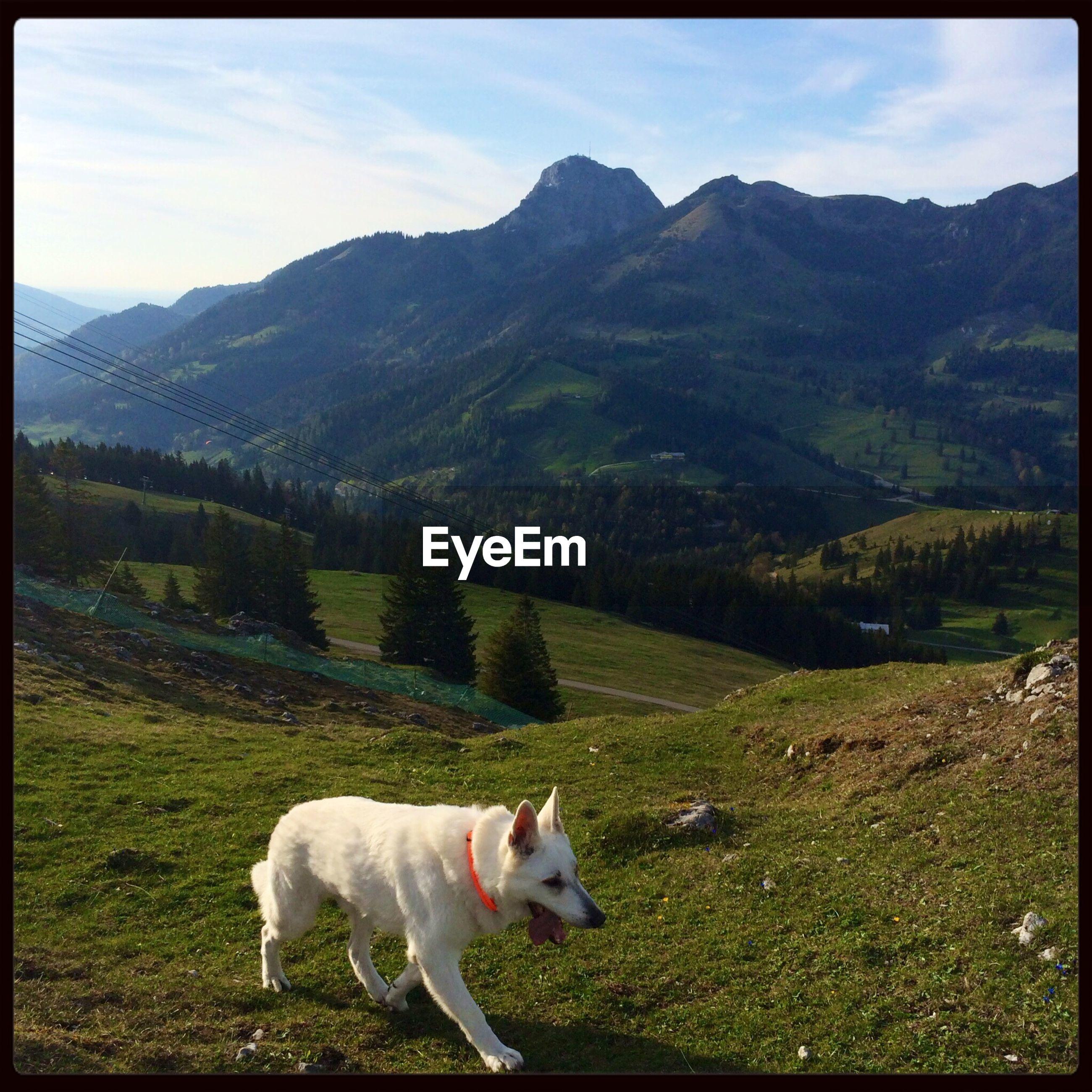 Shepherd dog on meadow
