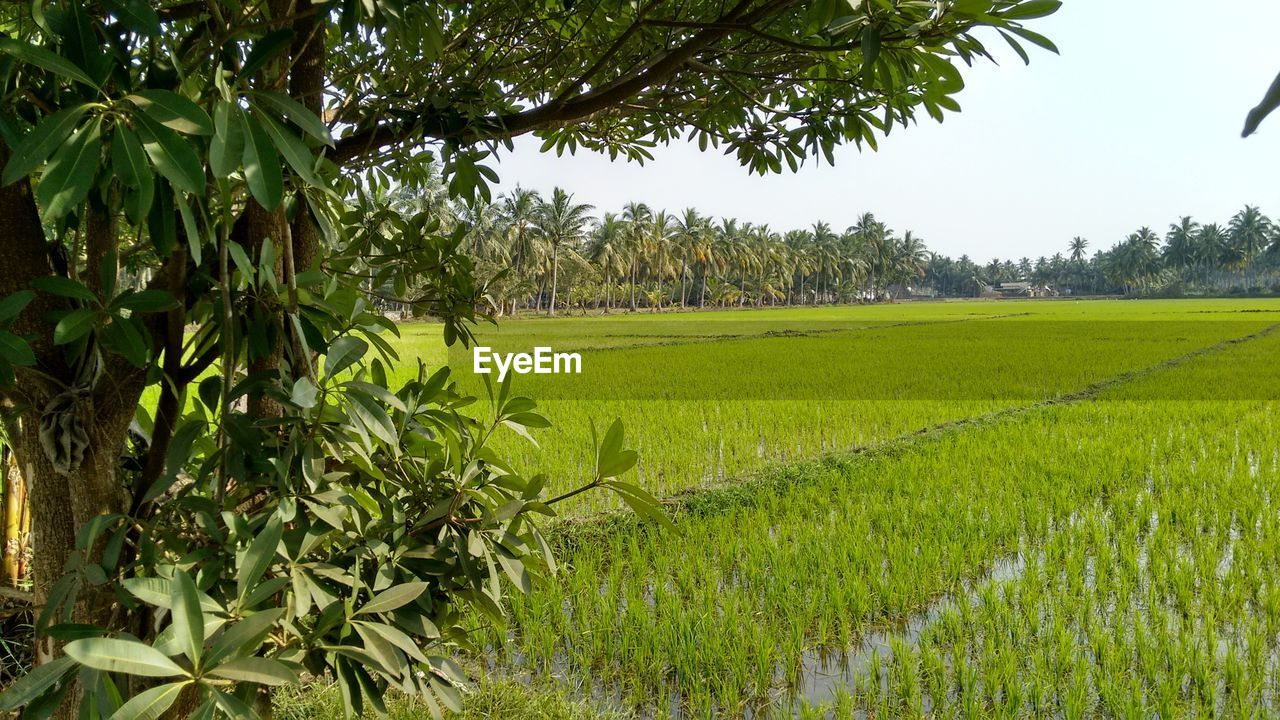 growth, agriculture, field, crop, cultivated land, farm, nature, tree, rural scene, green color, scenics, tranquility, beauty in nature, tranquil scene, landscape, rice paddy, plant, outdoors, day, no people, cereal plant, grass, rice - cereal plant, cultivated, leaf, banana tree, terraced field, sky, freshness