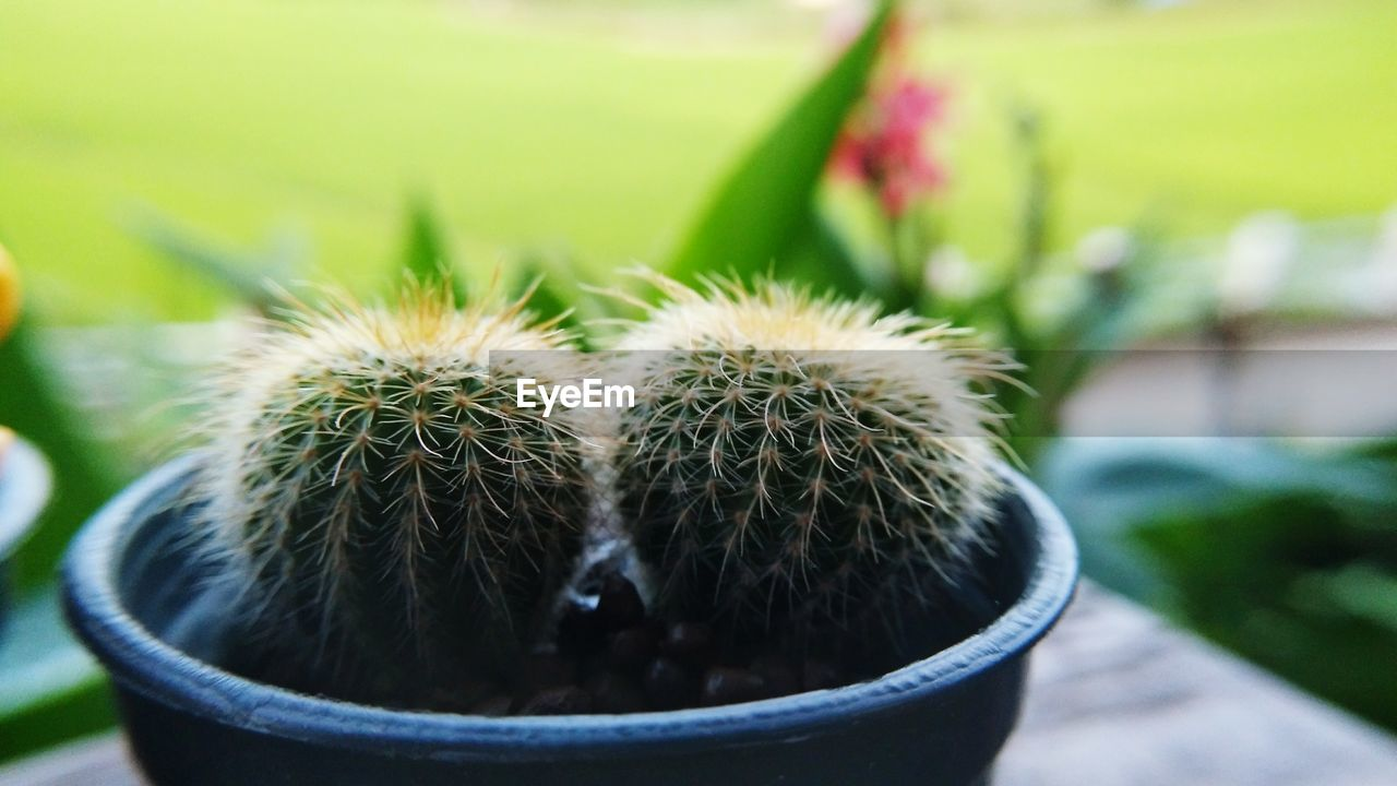 cactus, potted plant, succulent plant, focus on foreground, thorn, close-up, sharp, growth, green color, plant, spiked, no people, barrel cactus, day, nature, beauty in nature, outdoors, warning sign, sign, front or back yard, flower pot, spiky, houseplant
