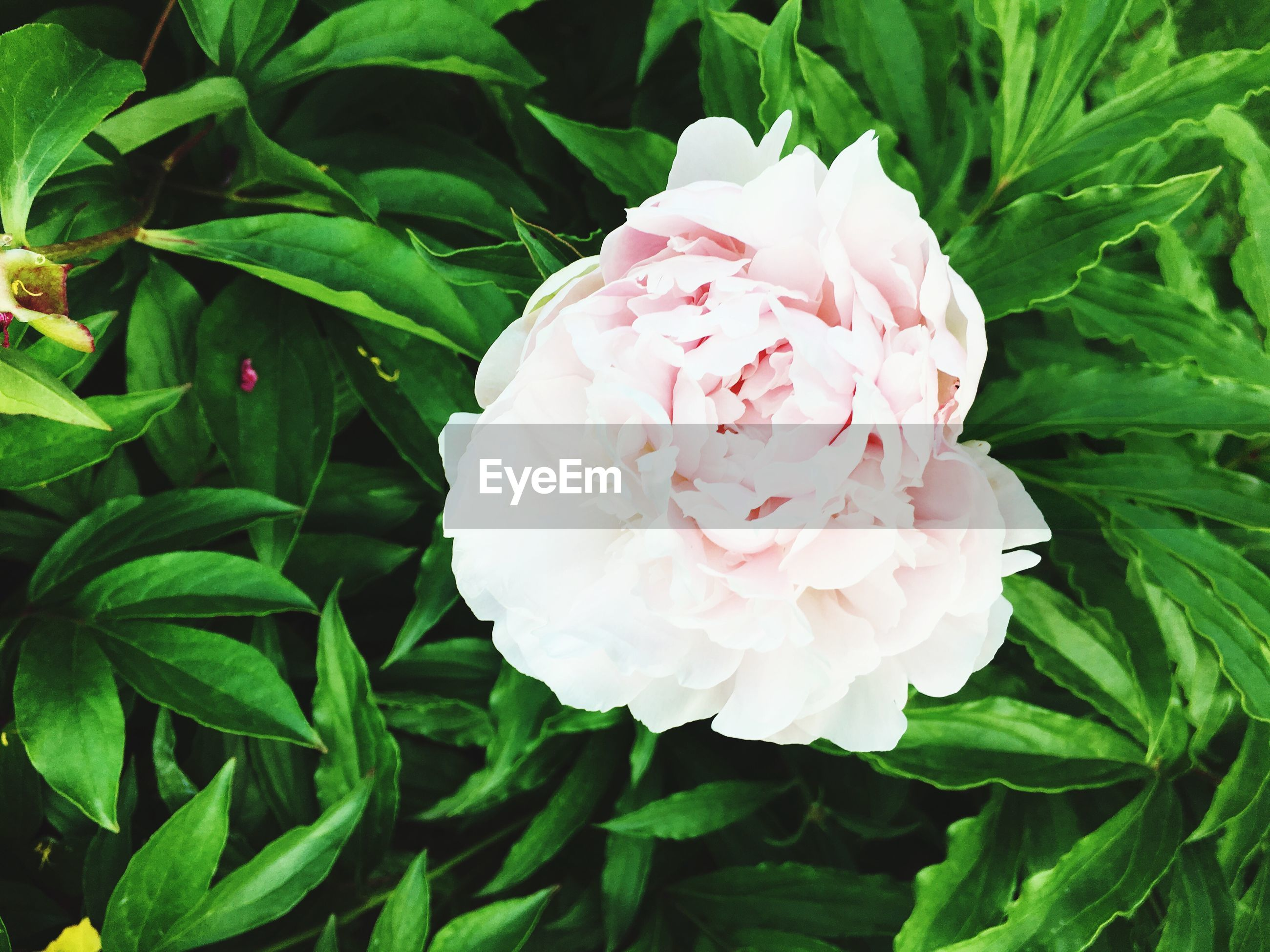 flower, freshness, fragility, petal, flower head, growth, beauty in nature, leaf, pink color, plant, blooming, close-up, nature, green color, rose - flower, in bloom, focus on foreground, blossom, outdoors, day, no people, botany, softness, selective focus, white