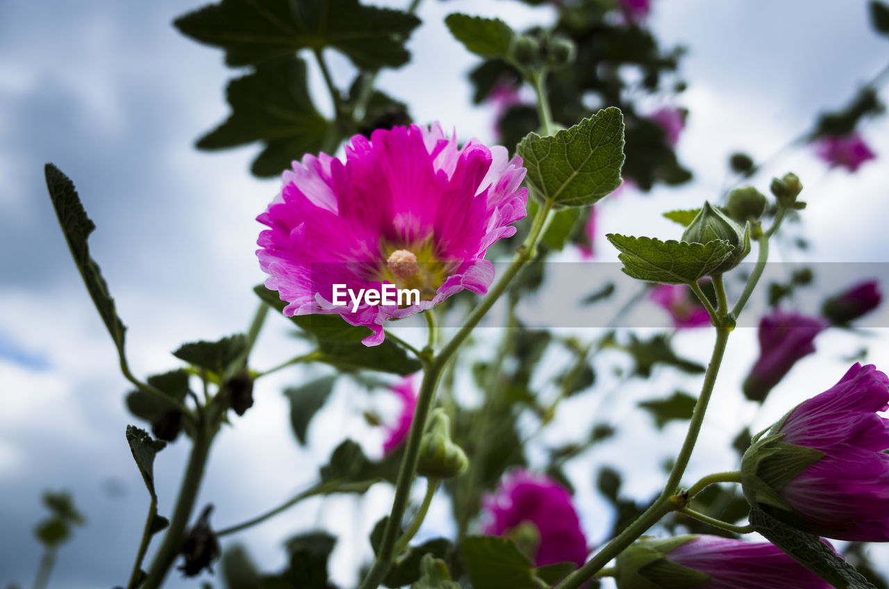 flowering plant, flower, plant, vulnerability, beauty in nature, fragility, freshness, petal, growth, flower head, close-up, inflorescence, leaf, pink color, plant part, nature, focus on foreground, no people, day, purple, outdoors