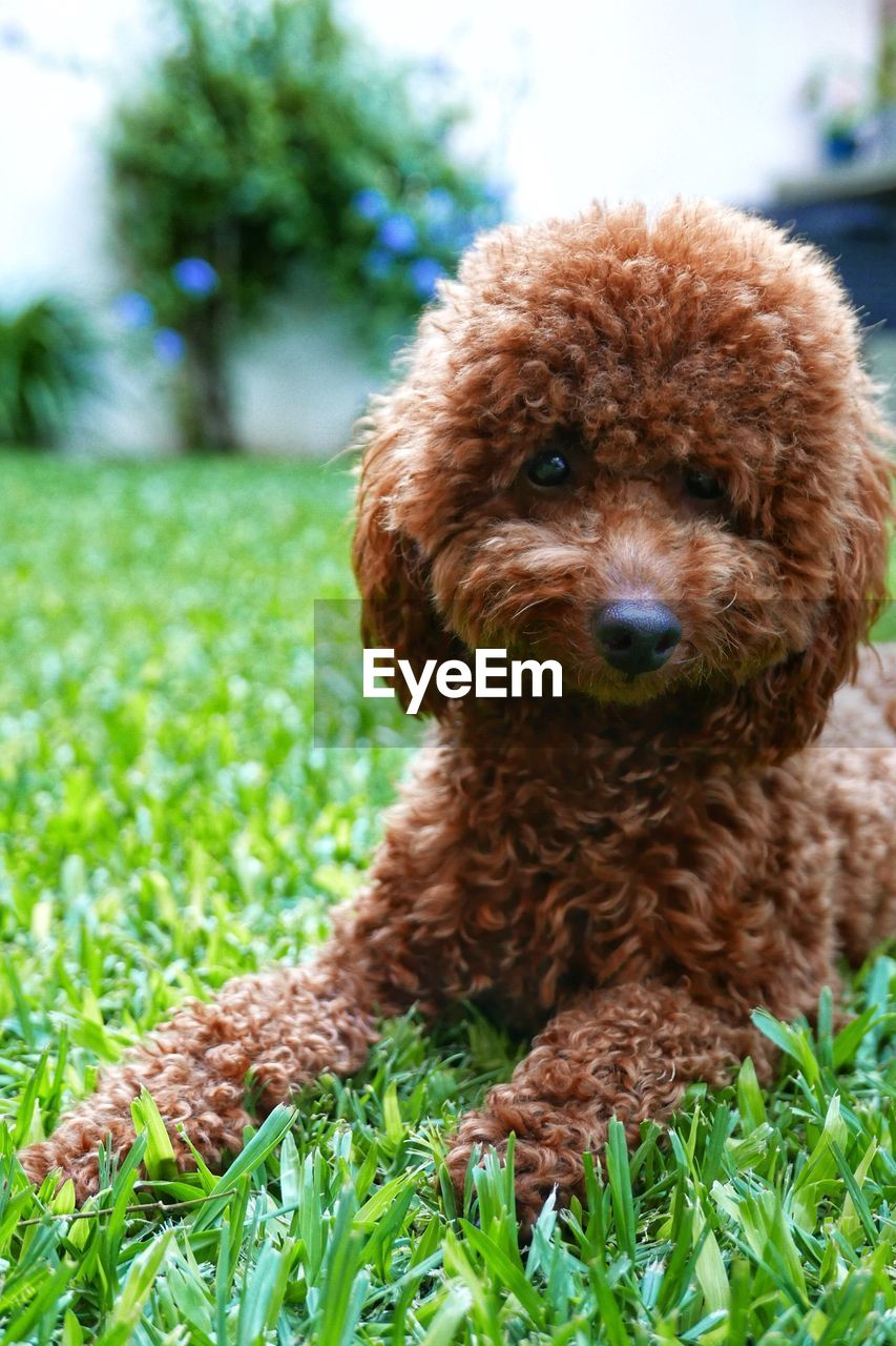 one animal, dog, mammal, pets, animal themes, brown, domestic animals, poodle, grass, green color, looking at camera, portrait, focus on foreground, no people, cute, close-up, nature, day, outdoors