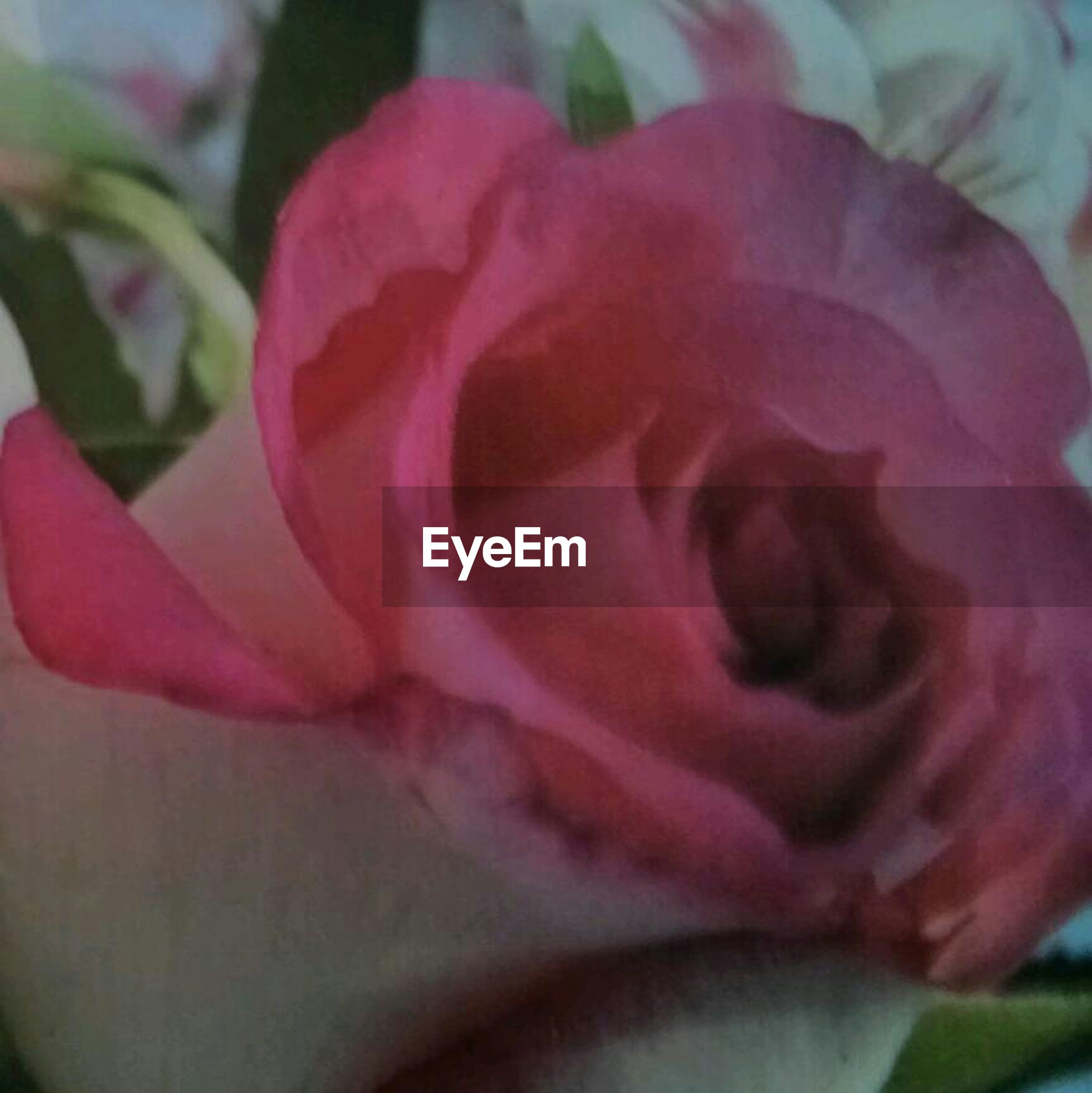 flower, petal, flower head, rose - flower, fragility, freshness, close-up, single flower, beauty in nature, growth, rose, pink color, nature, blooming, focus on foreground, single rose, plant, in bloom, selective focus, softness