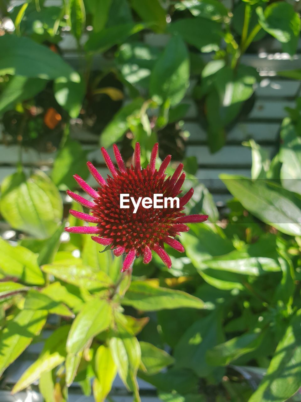 plant, flower, growth, beauty in nature, flowering plant, fragility, red, vulnerability, freshness, petal, inflorescence, plant part, flower head, green color, close-up, nature, leaf, day, no people, outdoors
