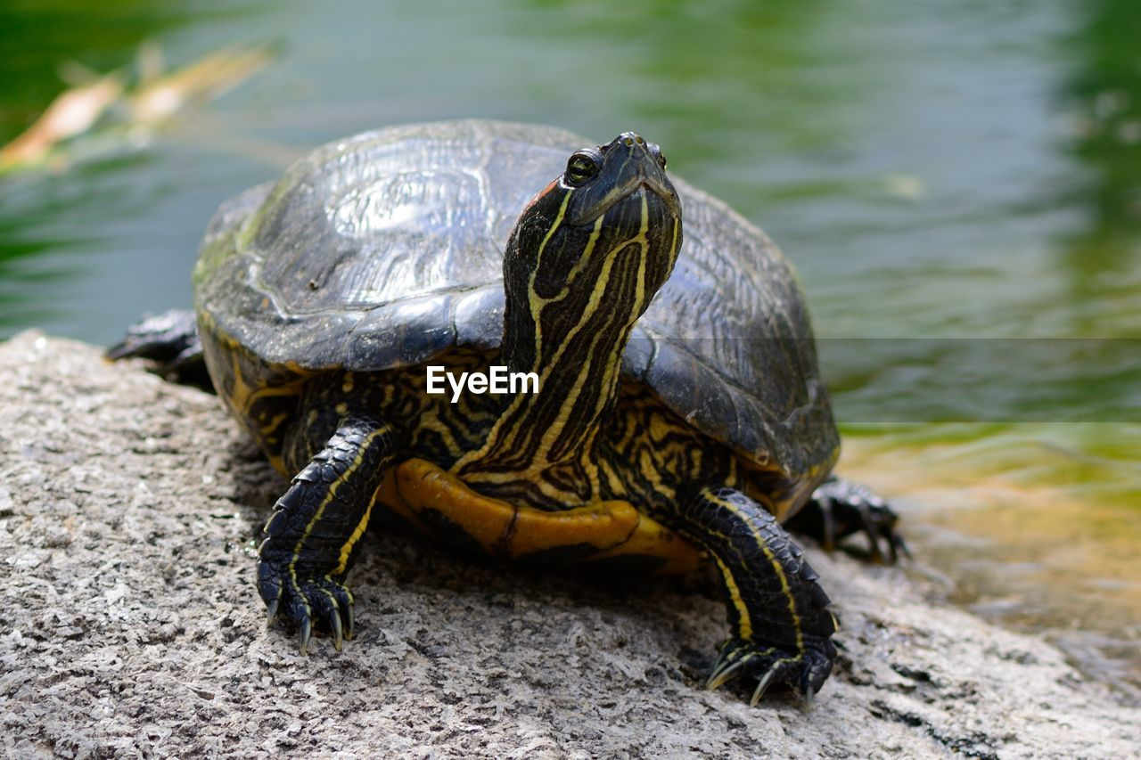 Close-up of turtle at lakeshore