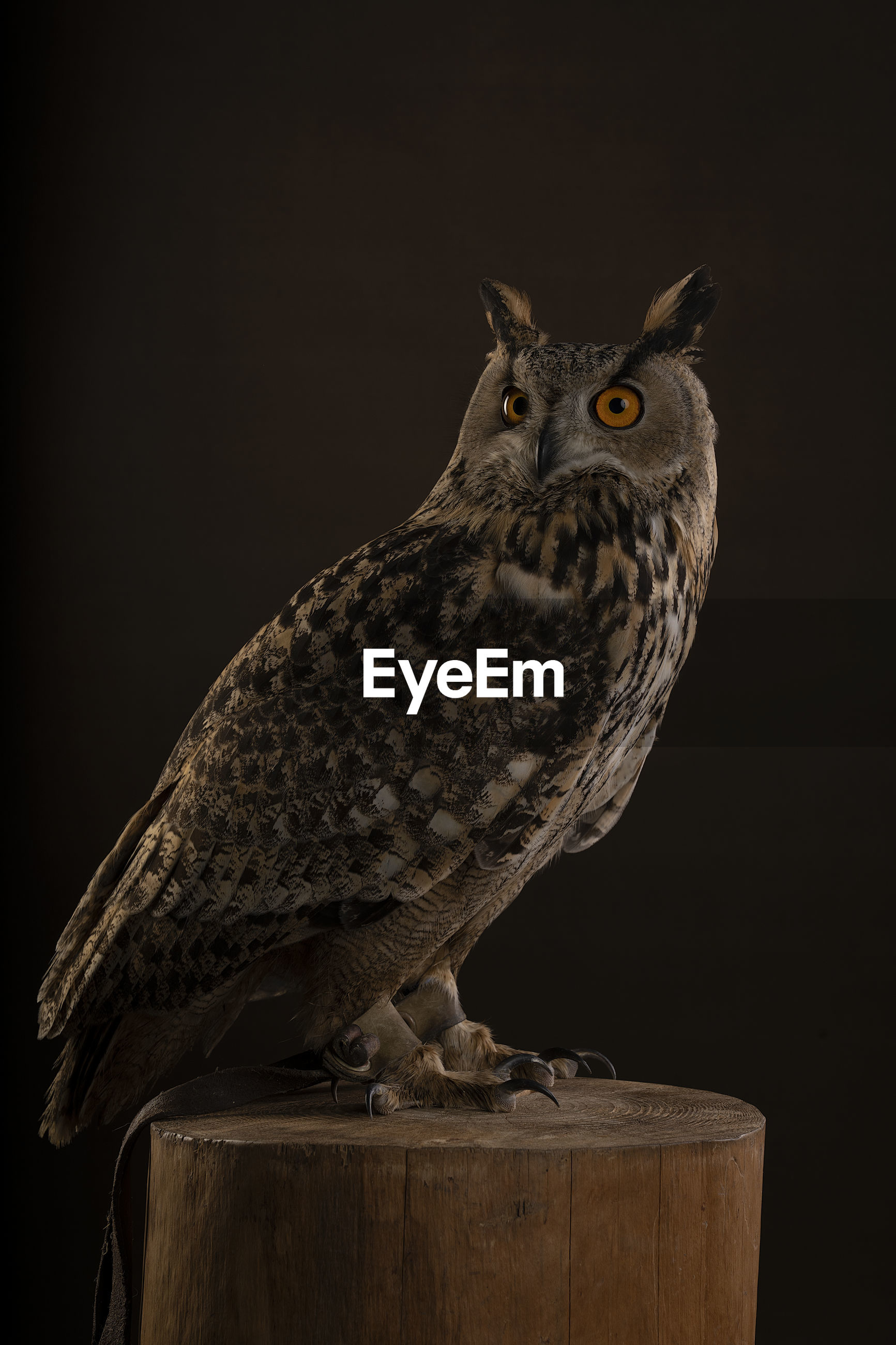 Close-up of turkmenistan eagle owl perching on wood against black brown background