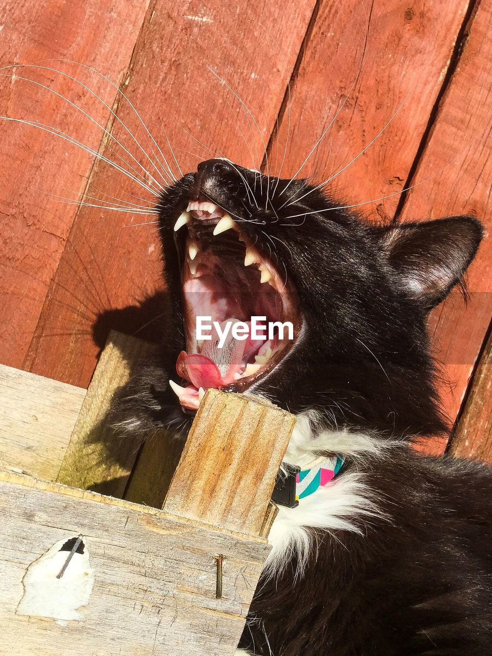 animal themes, mammal, one animal, mouth open, domestic cat, domestic animals, pets, feline, yawning, animal tongue, no people, day, indoors, close-up