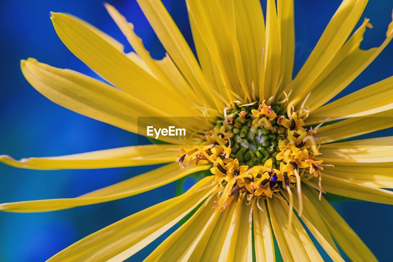 CLOSE-UP OF SUNFLOWER ON YELLOW FLOWER