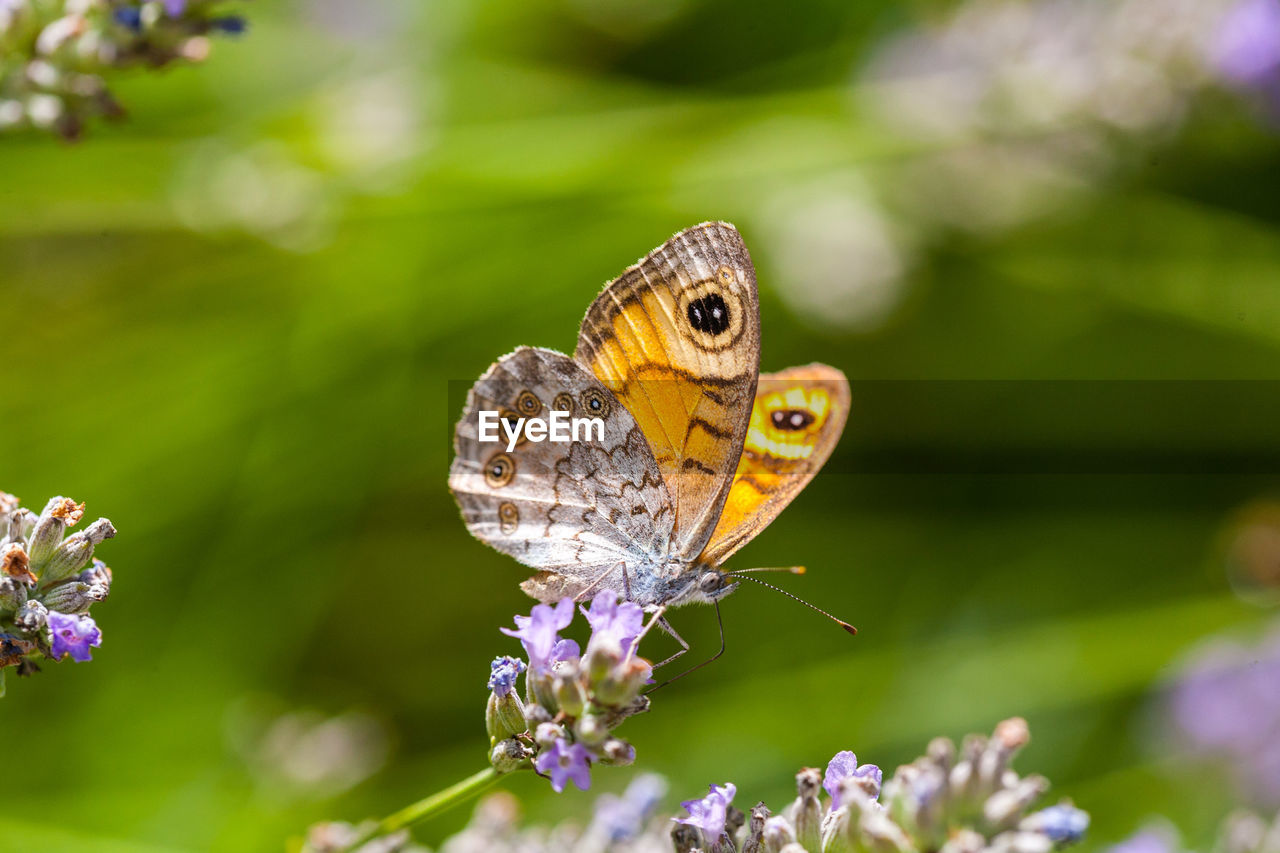 animal themes, animal wildlife, animals in the wild, animal, one animal, invertebrate, insect, flower, close-up, plant, beauty in nature, butterfly - insect, flowering plant, focus on foreground, animal wing, fragility, vulnerability, nature, day, no people, pollination, butterfly, flower head, outdoors, purple