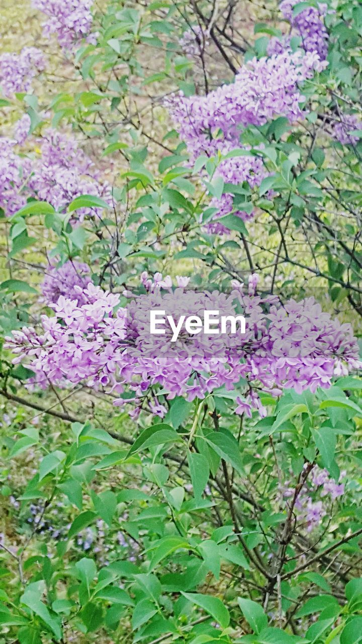purple, flower, no people, nature, plant, growth, green color, lilac, close-up, freshness, fragility, beauty in nature, day, outdoors