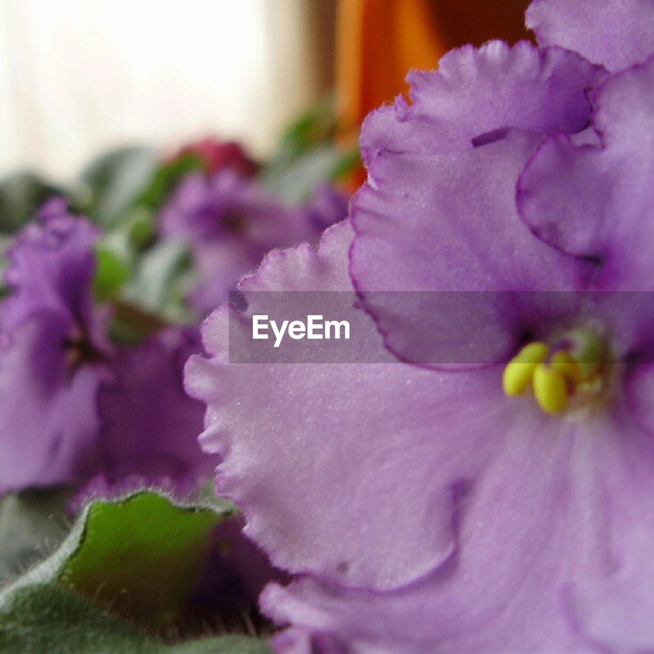 flower, close-up, purple, fragility, freshness, no people, petal, beauty in nature, flower head, growth, nature, day, indoors, plant