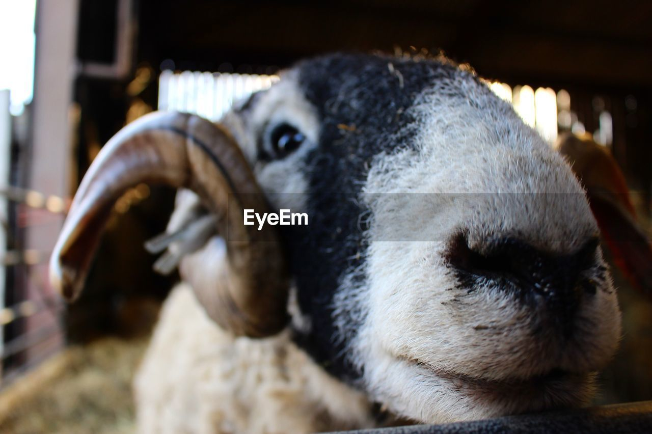 animal themes, animal, one animal, mammal, focus on foreground, vertebrate, close-up, animal body part, domestic animals, domestic, livestock, animal head, pets, no people, animal wildlife, day, portrait, looking, outdoors, looking at camera, herbivorous, animal nose, animal mouth, snout, animal eye