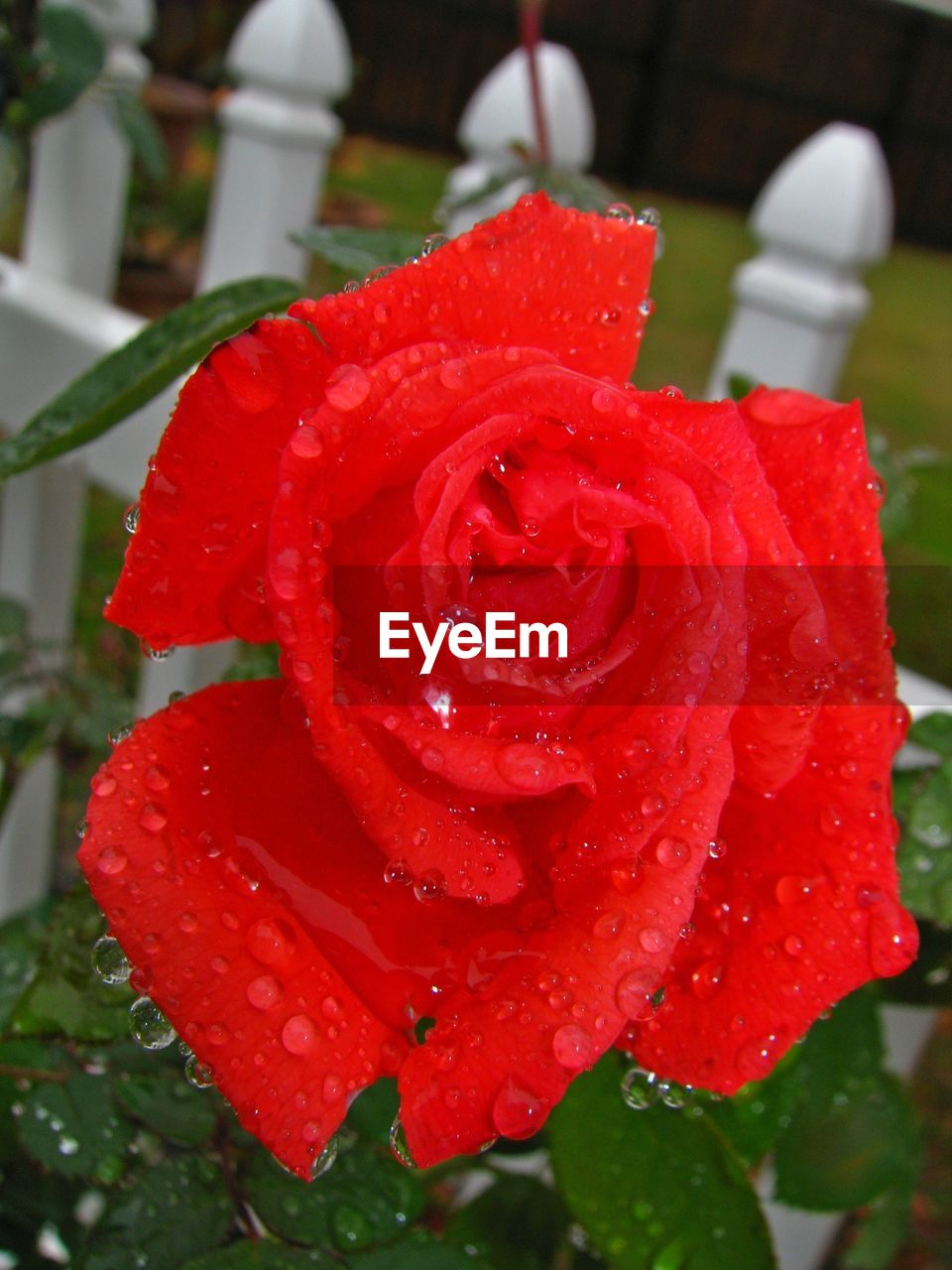 red, drop, wet, water, freshness, rose - flower, nature, growth, petal, beauty in nature, flower, close-up, no people, fragility, raindrop, flower head, outdoors, day
