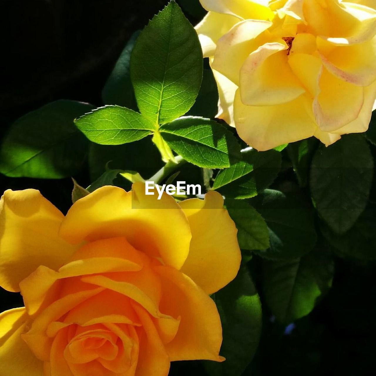 flower, petal, beauty in nature, freshness, nature, fragility, flower head, leaf, growth, yellow, plant, rose - flower, blooming, no people, close-up, outdoors, day