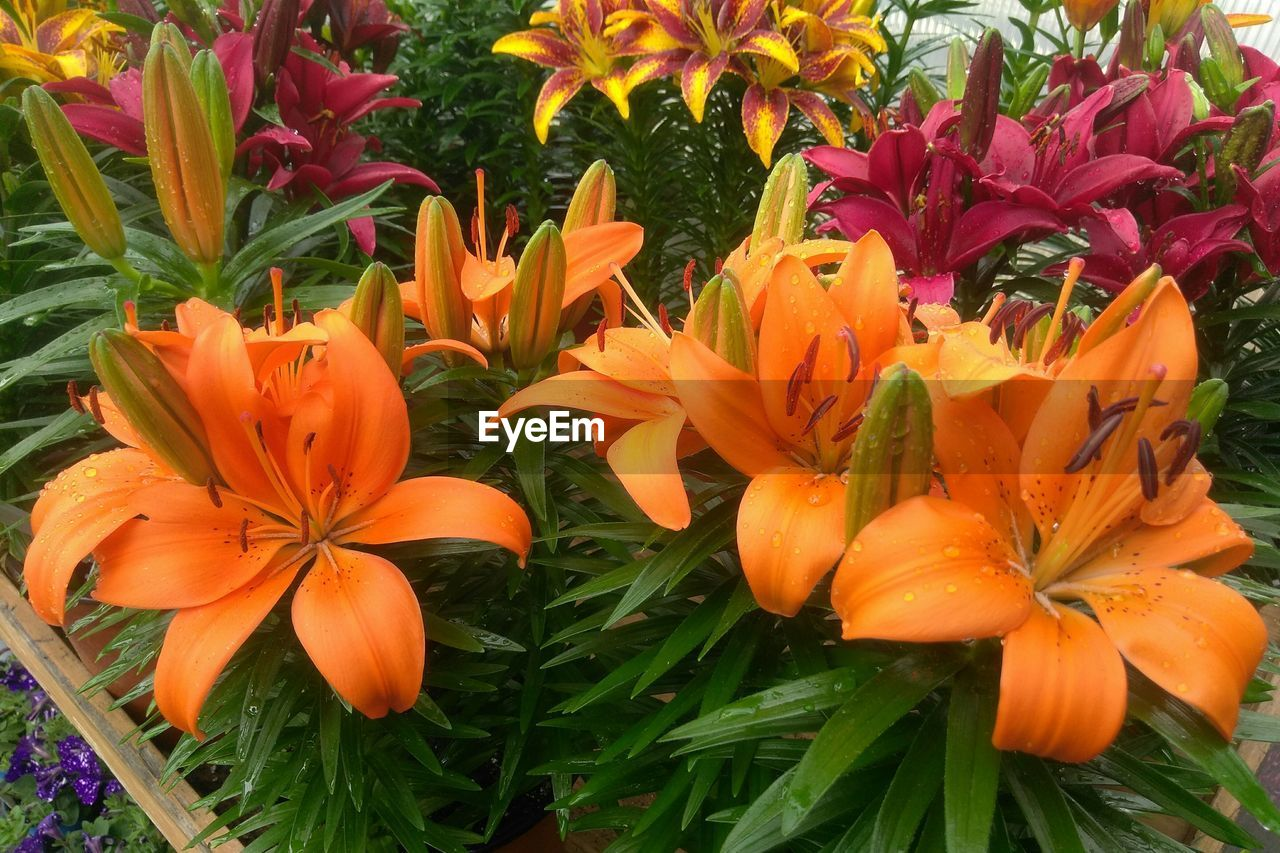 orange color, flower, growth, freshness, nature, petal, beauty in nature, flower head, plant, no people, fragility, outdoors, blooming, day, close-up, day lily