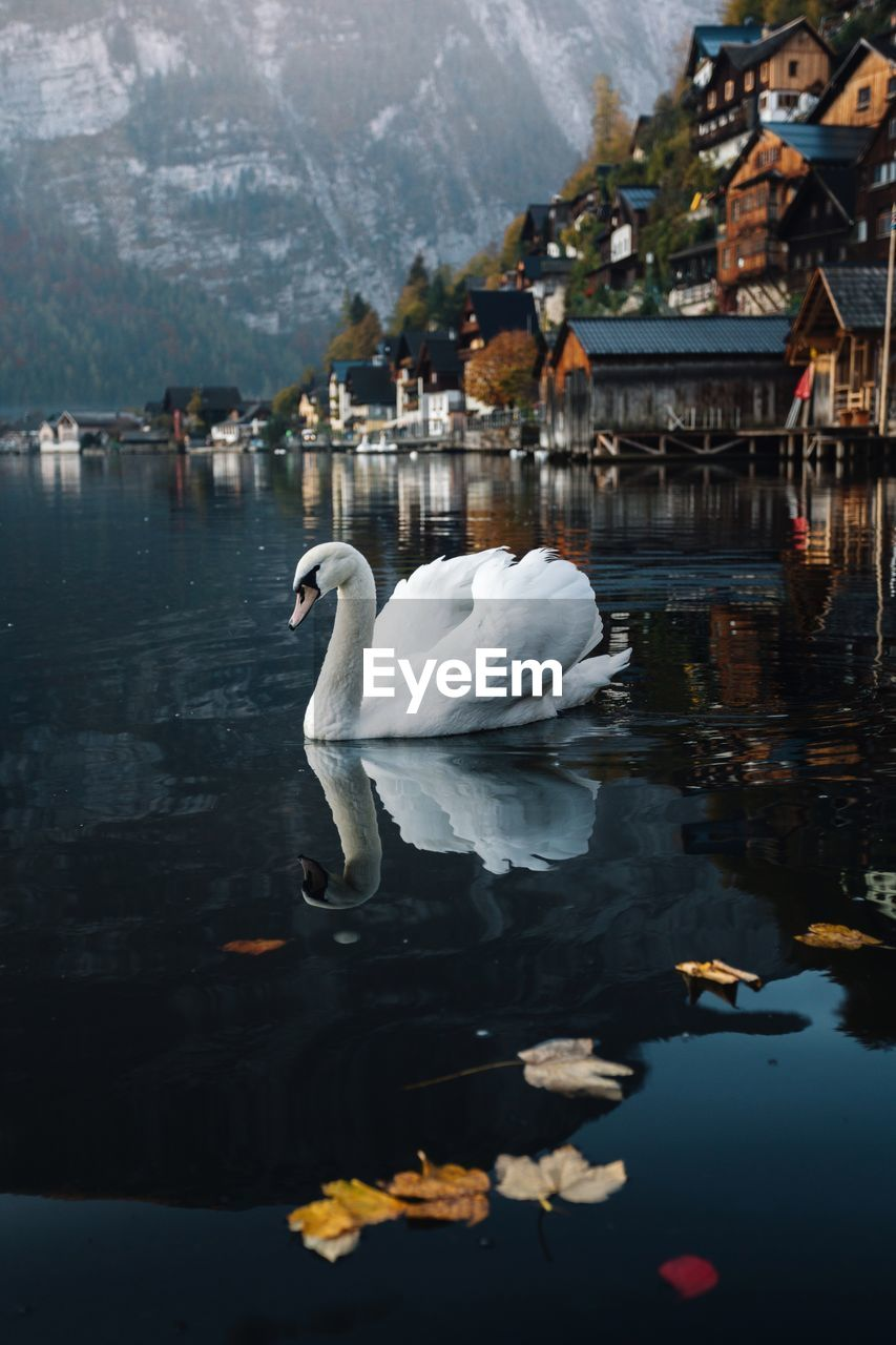 water, animal themes, animals in the wild, bird, animal, animal wildlife, lake, vertebrate, swan, reflection, swimming, nature, one animal, water bird, white color, no people, architecture, day, built structure, floating on water