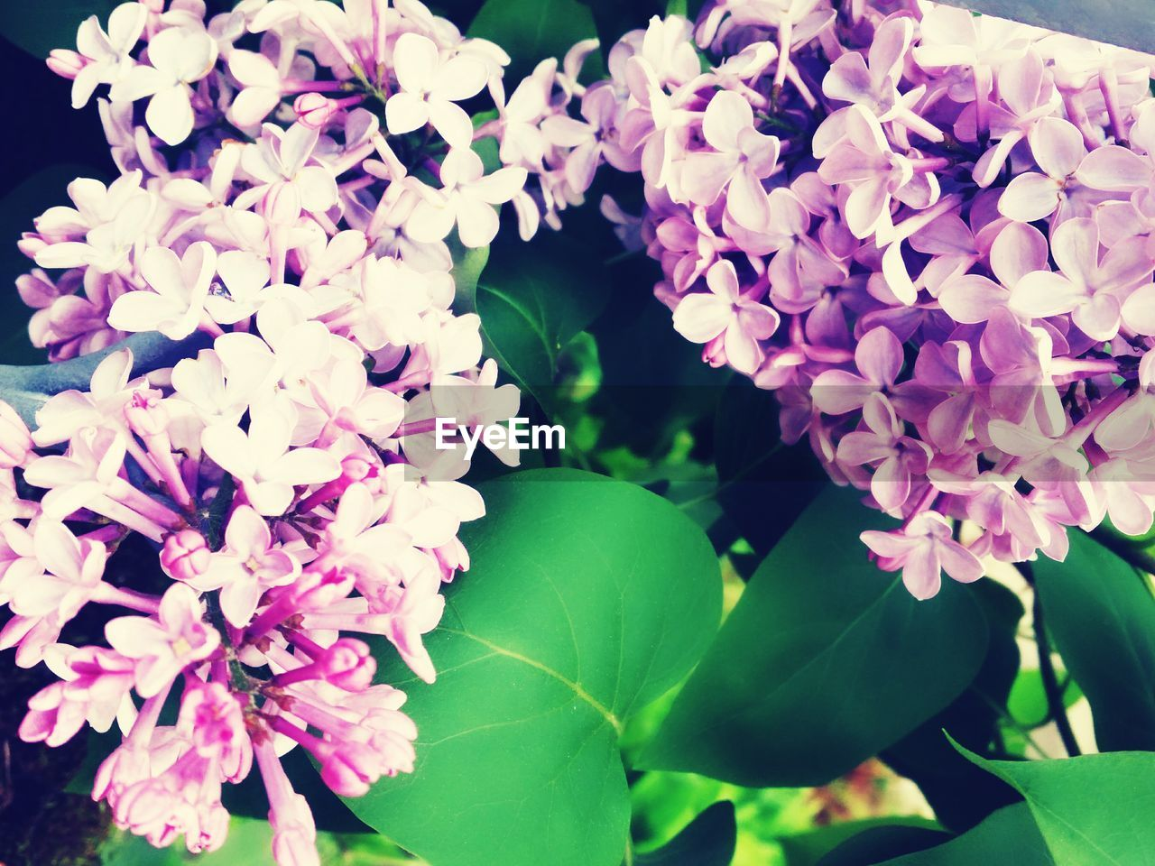 flower, beauty in nature, growth, fragility, nature, purple, plant, freshness, petal, day, outdoors, leaf, no people, blooming, lilac, close-up, flower head