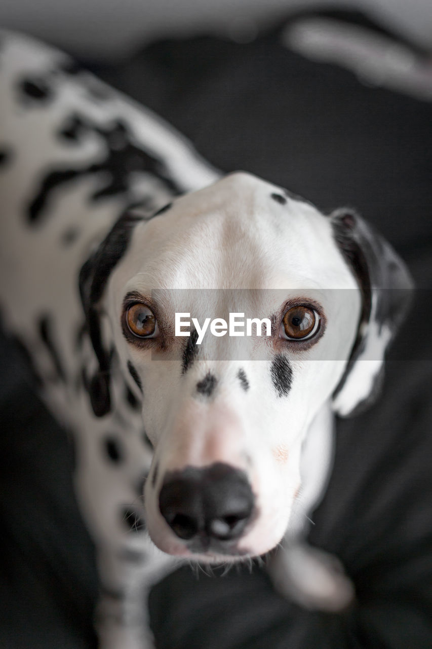dog, canine, one animal, pets, domestic, domestic animals, mammal, animal themes, animal, portrait, vertebrate, looking at camera, no people, close-up, indoors, animal body part, dalmatian dog, high angle view, focus on foreground, animal head