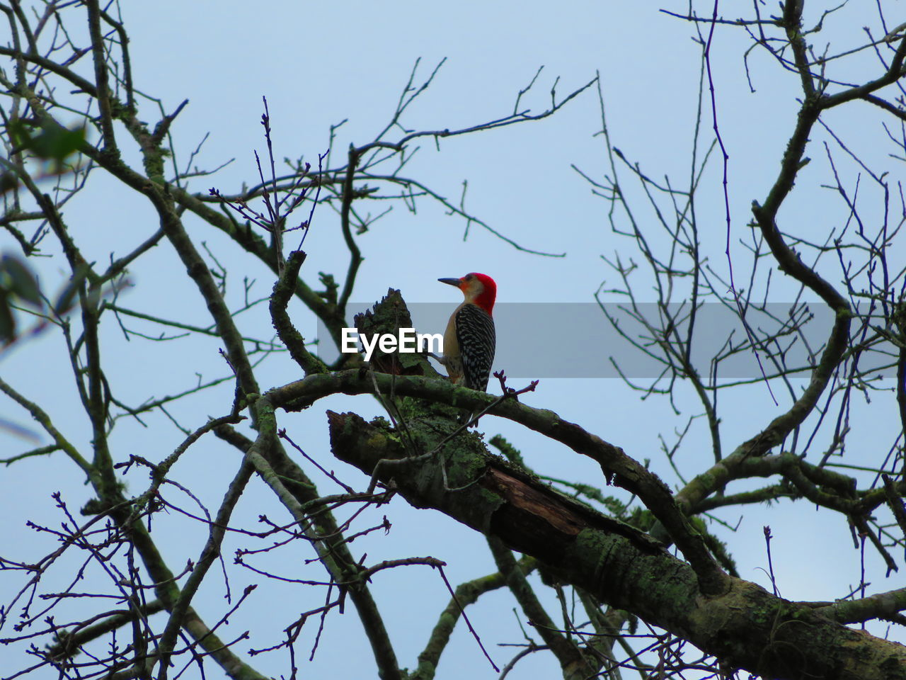 bird, tree, vertebrate, perching, animal themes, animals in the wild, branch, animal, low angle view, animal wildlife, one animal, plant, sky, nature, bare tree, day, no people, clear sky, outdoors, beauty in nature