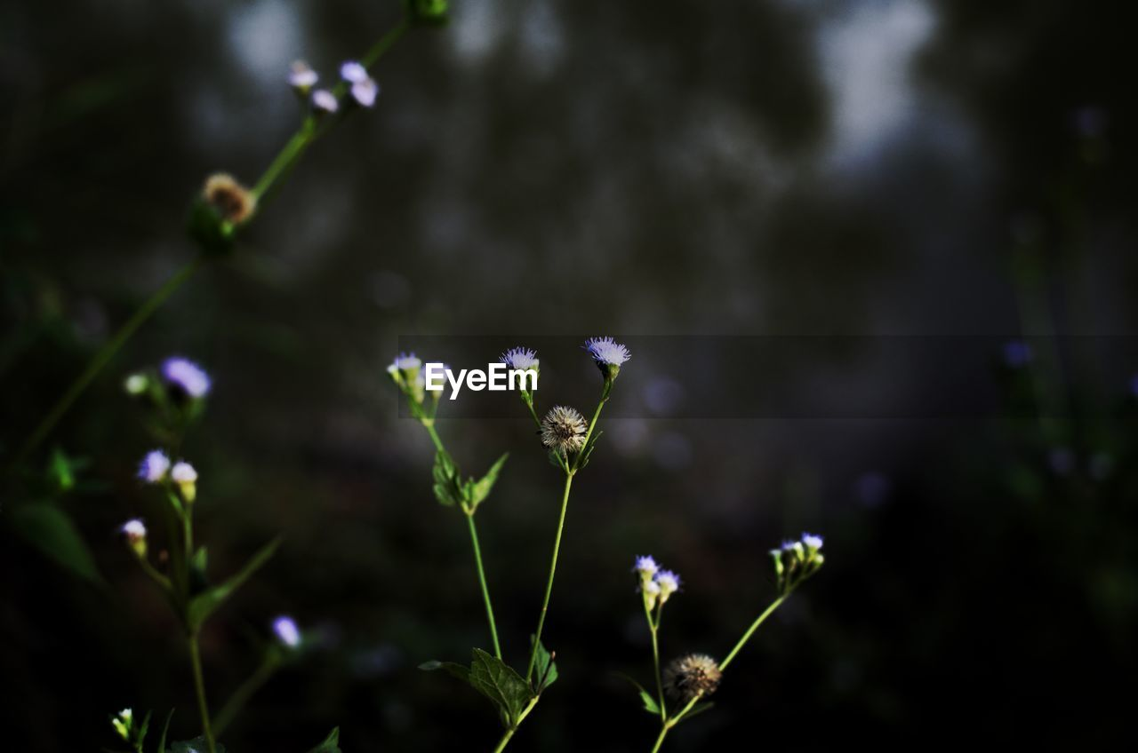 plant, flower, flowering plant, growth, beauty in nature, focus on foreground, freshness, close-up, vulnerability, fragility, nature, no people, day, outdoors, selective focus, plant stem, petal, purple, land, plant part, flower head