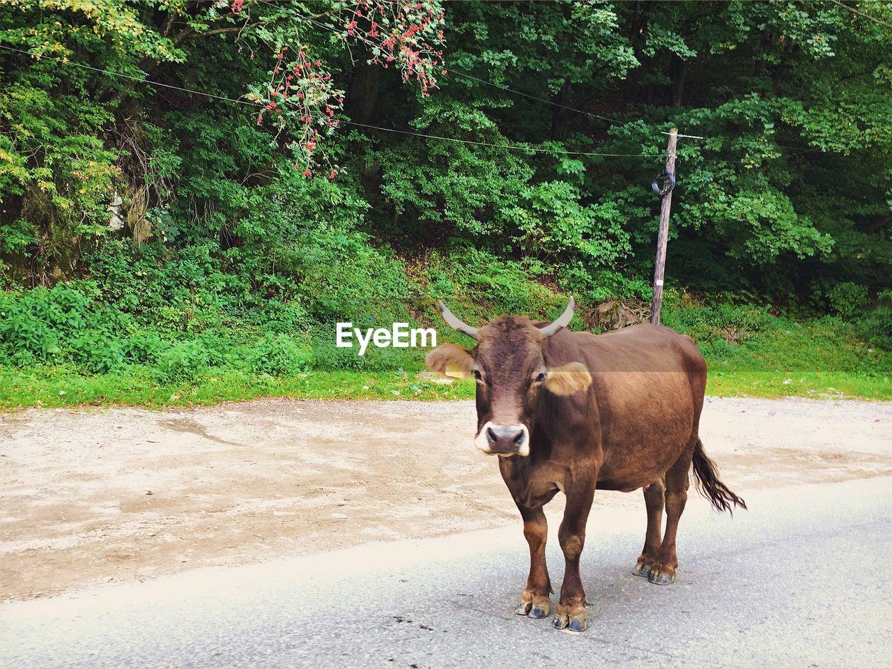Full length of bull standing on footpath against tree