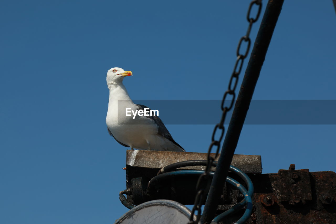 bird, animal themes, vertebrate, animal, perching, one animal, animal wildlife, animals in the wild, clear sky, sky, low angle view, nature, seagull, day, blue, no people, copy space, outdoors, focus on foreground, metal