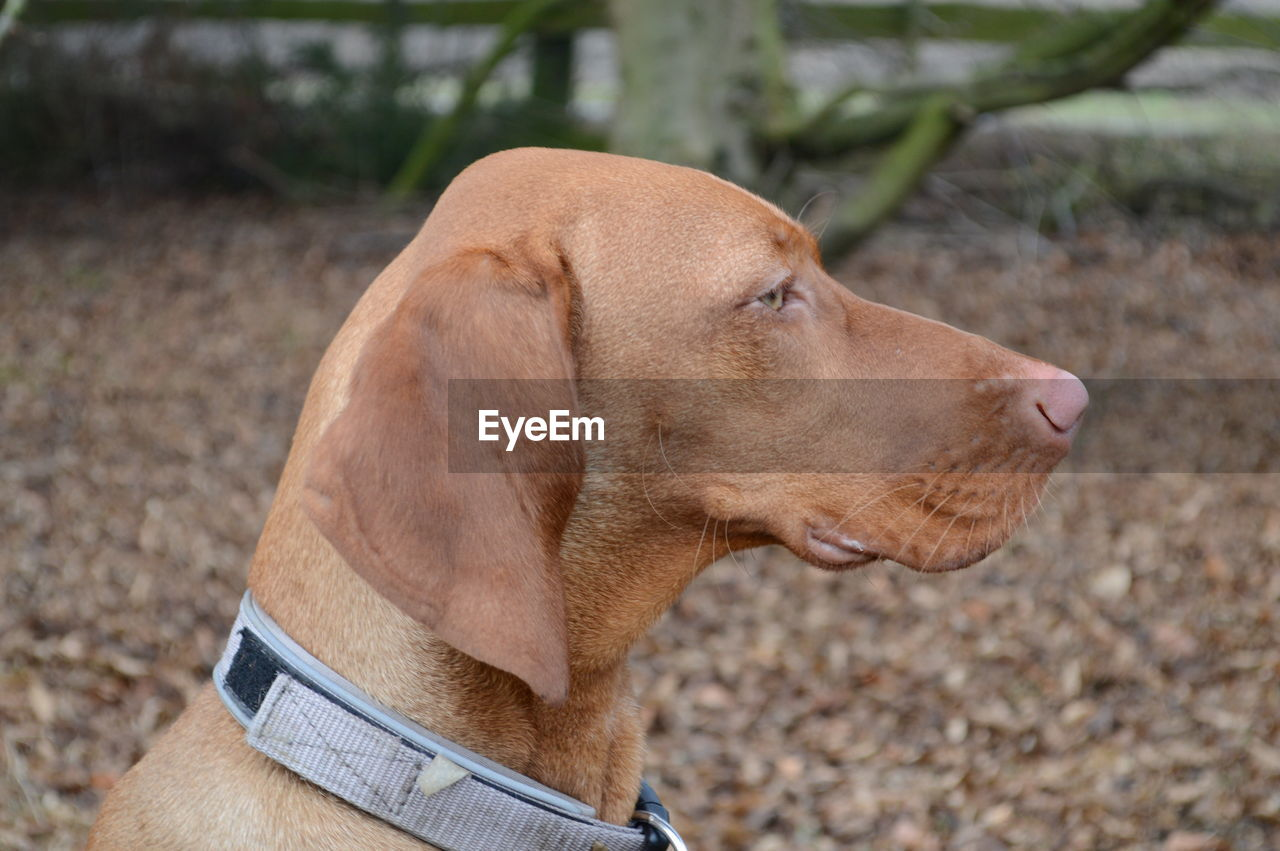 one animal, animal themes, dog, mammal, canine, domestic, animal, domestic animals, pets, vertebrate, brown, looking, focus on foreground, day, side view, land, close-up, looking away, collar, outdoors, profile view, animal head, weimaraner