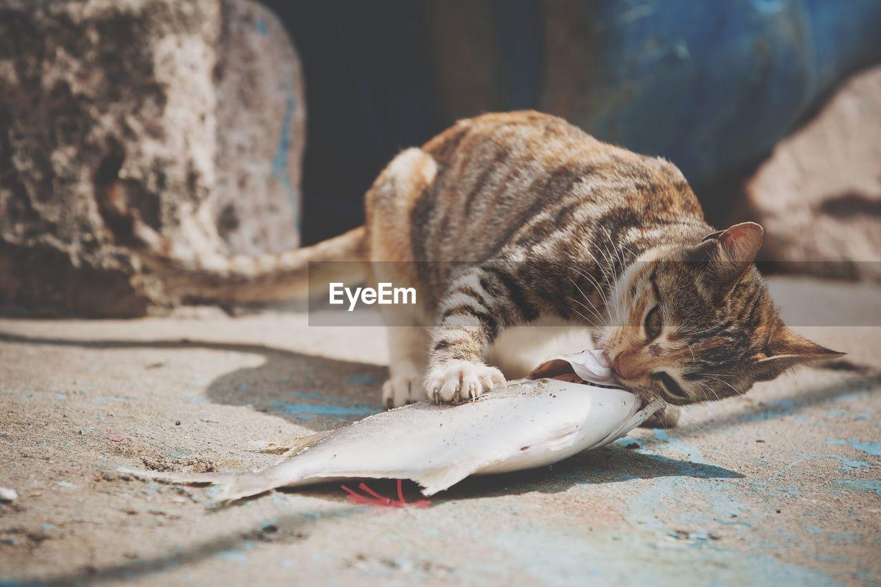 Stray Cat Eating Dead Fish