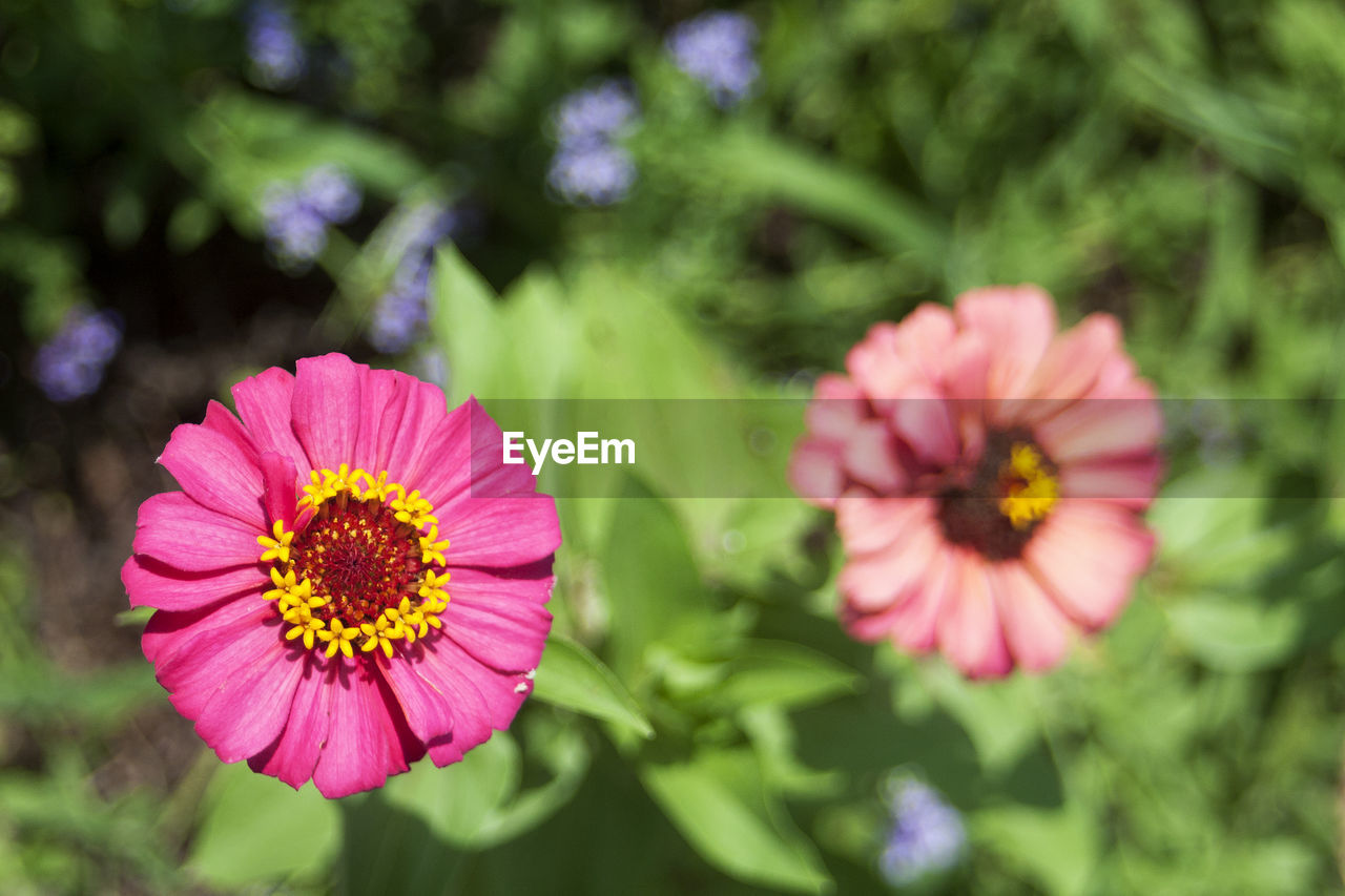 flower, petal, growth, fragility, beauty in nature, flower head, nature, freshness, blooming, focus on foreground, pink color, day, outdoors, no people, plant, close-up, zinnia