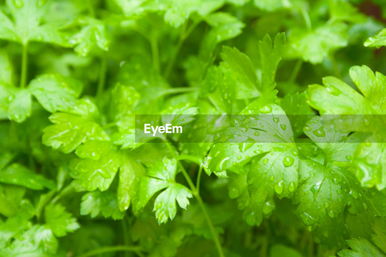 green color, freshness, drop, close-up, water, wet, growth, no people, full frame, selective focus, plant, beauty in nature, nature, backgrounds, food and drink, leaf, plant part, food, day, rain, leaves, dew, raindrop, rainy season