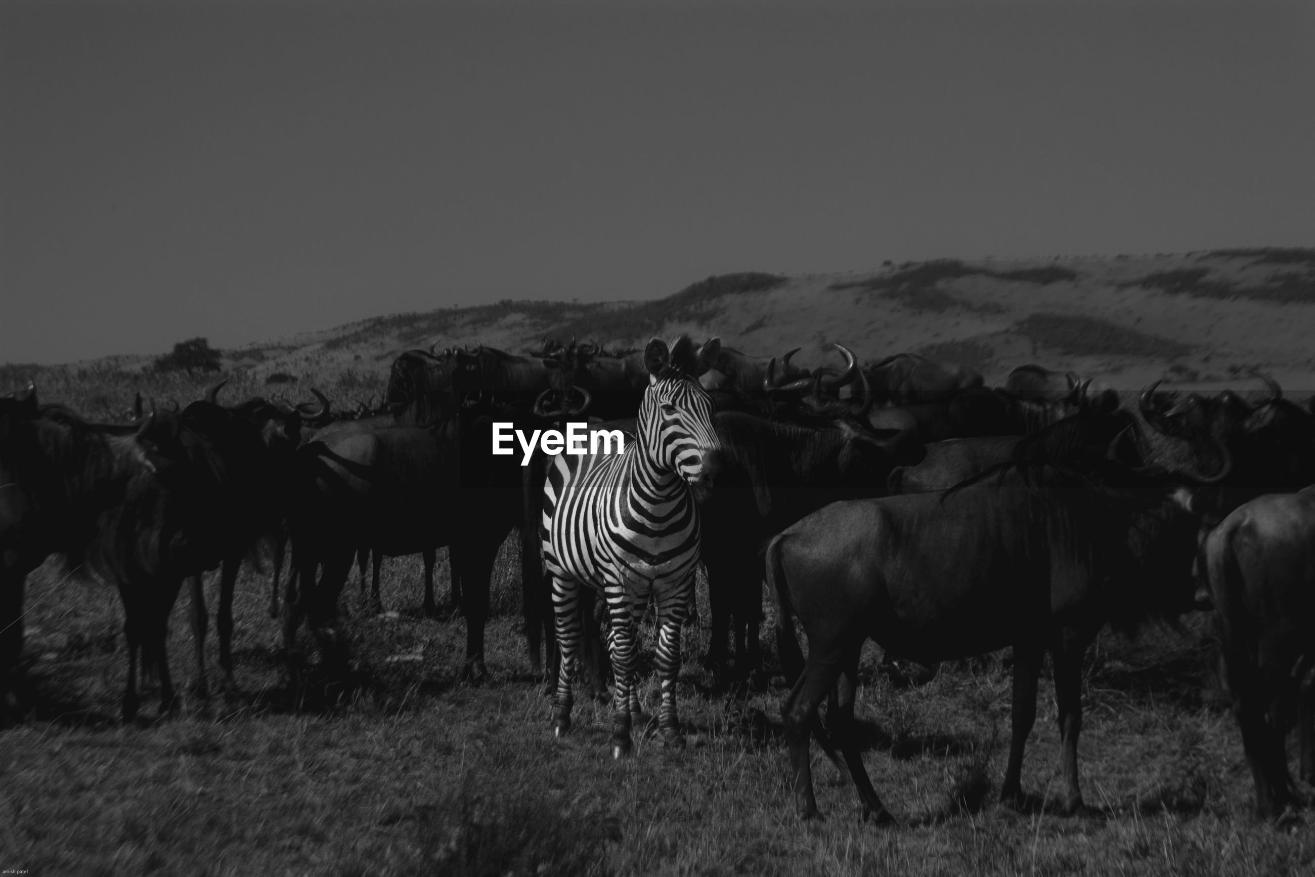 Wildebeests and zebra standing on field