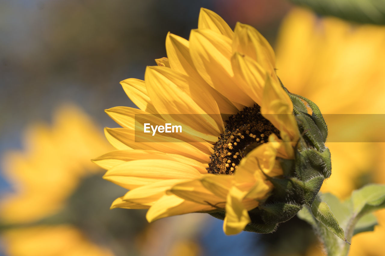 flower, petal, fragility, beauty in nature, nature, flower head, freshness, yellow, growth, plant, blooming, pollen, no people, outdoors, focus on foreground, day, close-up, animal themes