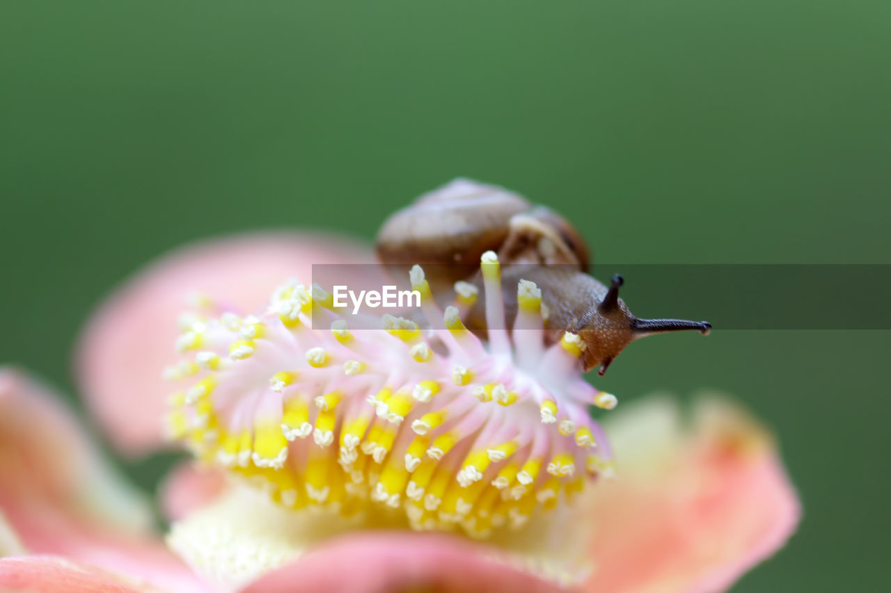 Close-Up Of Snail On Pink Flower