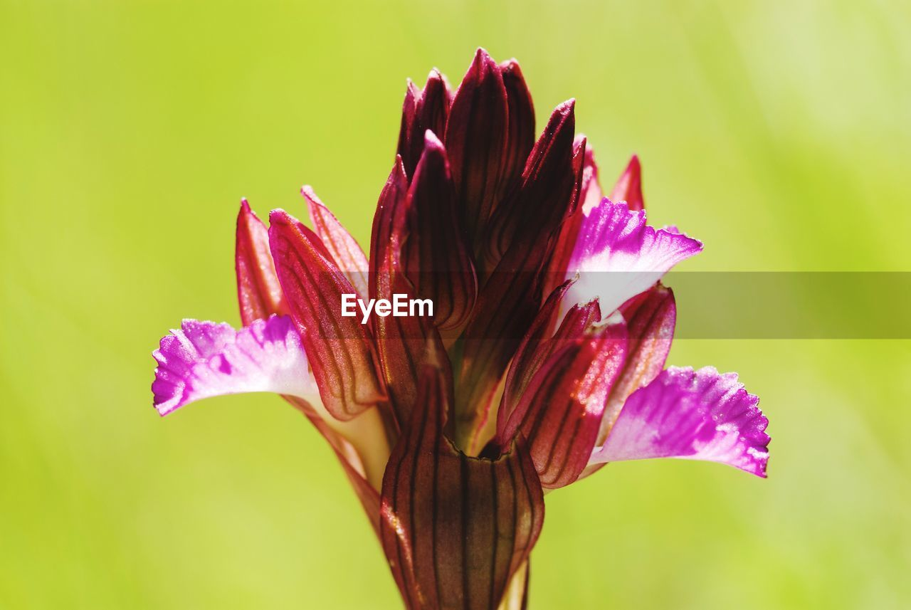 flower, flowering plant, plant, vulnerability, petal, beauty in nature, fragility, close-up, growth, freshness, flower head, inflorescence, nature, pink color, no people, focus on foreground, colored background, selective focus, outdoors, pollen, purple, maroon, sepal, iris - plant