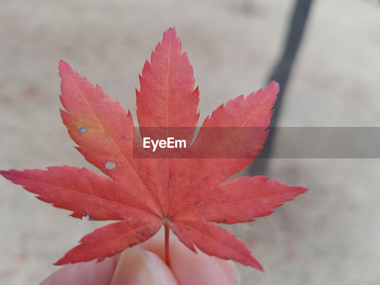 leaf, plant part, close-up, autumn, beauty in nature, focus on foreground, plant, day, vulnerability, nature, fragility, red, maple leaf, change, outdoors, orange color, no people, selective focus, growth, leaf vein, flower head, leaves, natural condition, flower