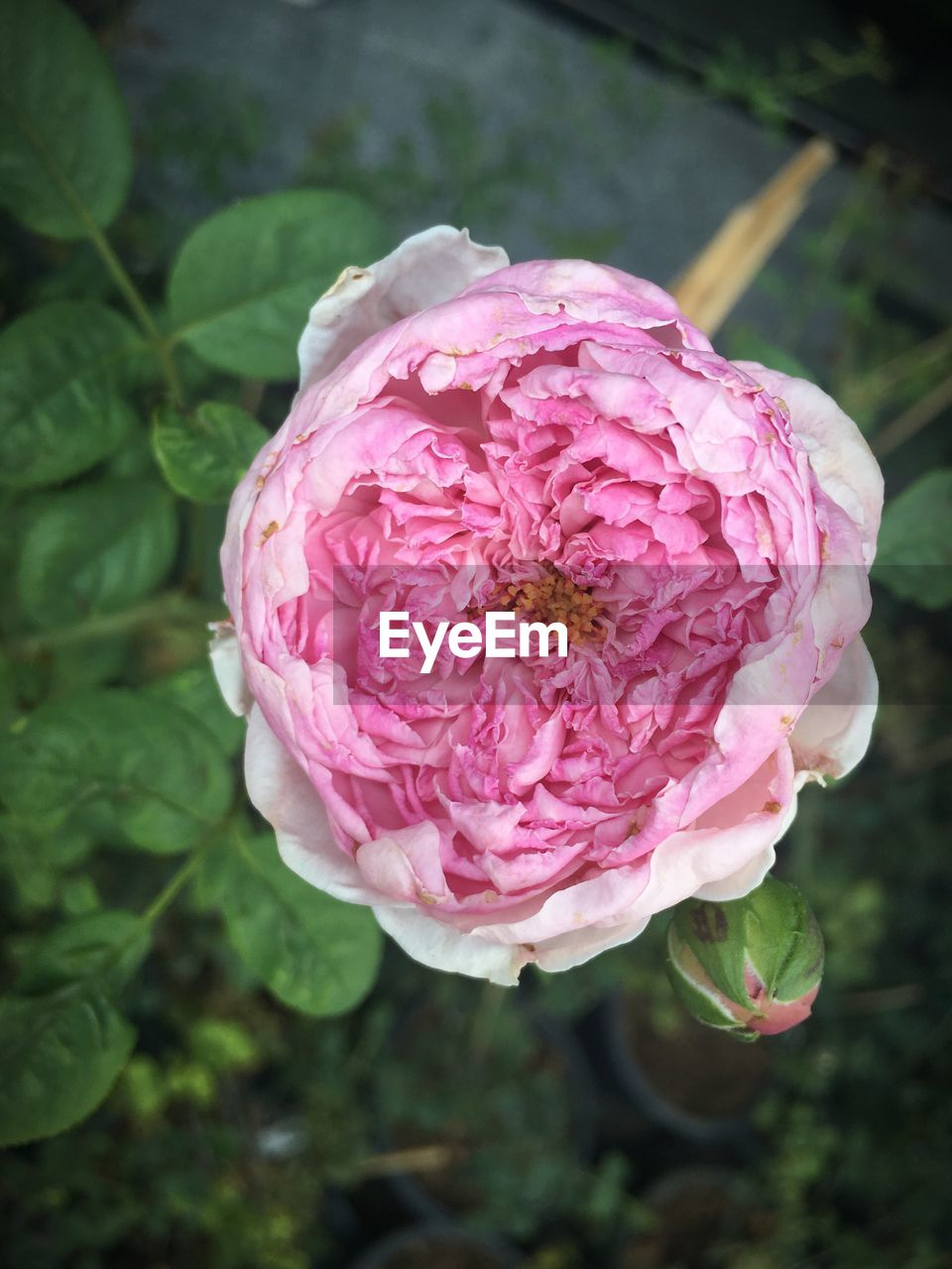 flower, petal, nature, pink color, fragility, beauty in nature, growth, plant, flower head, rose - flower, no people, freshness, day, close-up, focus on foreground, outdoors, blooming, peony