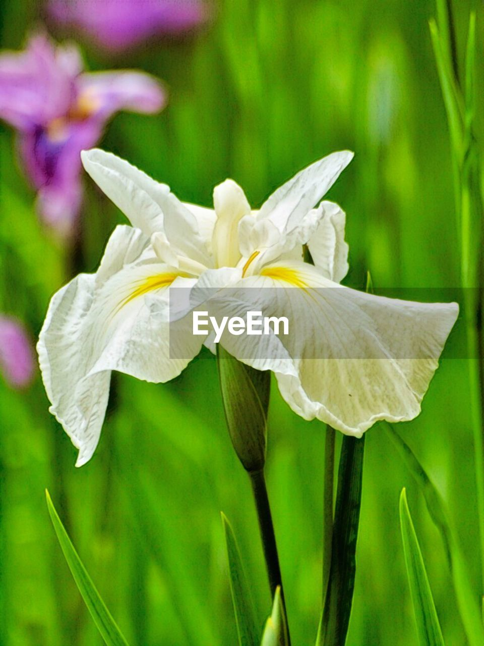 flowering plant, plant, flower, freshness, beauty in nature, vulnerability, fragility, petal, growth, close-up, inflorescence, flower head, focus on foreground, nature, no people, green color, white color, day, botany, outdoors, iris - plant, purple
