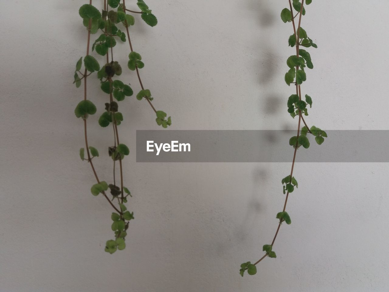 plant, growth, leaf, no people, hanging, ivy, close-up, nature, indoors, day, freshness