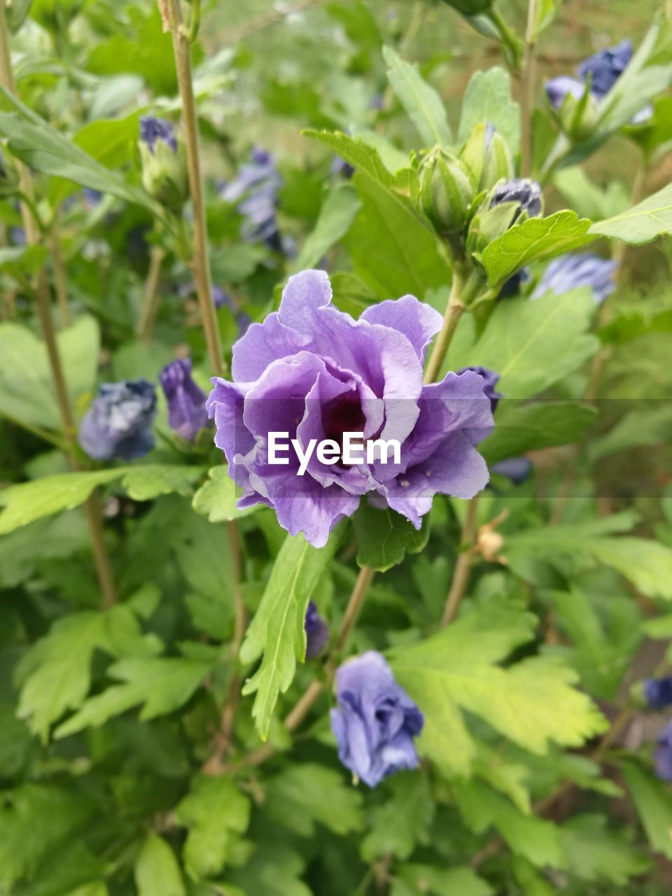 flower, flowering plant, vulnerability, plant, beauty in nature, fragility, freshness, purple, petal, growth, close-up, flower head, inflorescence, nature, day, plant part, leaf, focus on foreground, no people, green color, outdoors