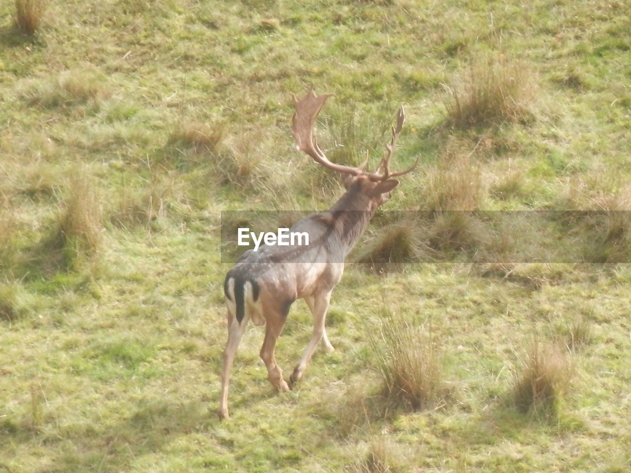 animals in the wild, animal themes, antler, deer, grass, one animal, field, nature, animal wildlife, mammal, antelope, no people, stag, beauty in nature, day, outdoors