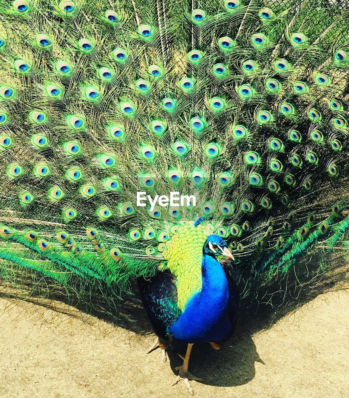 peacock, peacock feather, bird, animal themes, animals in the wild, fanned out, animal wildlife, one animal, feather, blue, beauty in nature, green color, nature, day, outdoors, field, no people, animal crest, close-up