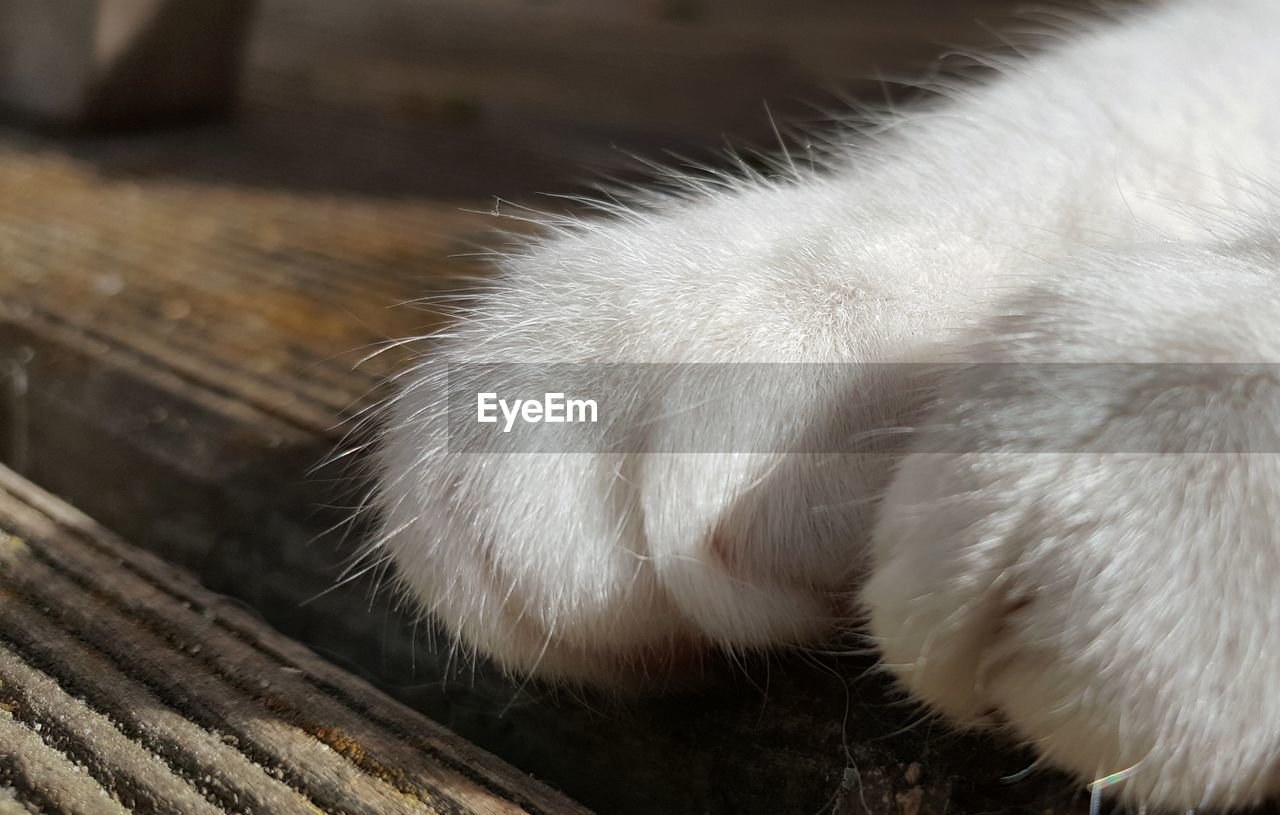 animal, one animal, domestic animals, animal themes, mammal, domestic, pets, close-up, vertebrate, domestic cat, feline, cat, animal body part, no people, paw, focus on foreground, white color, relaxation, animal leg, animal hair, whisker, animal head