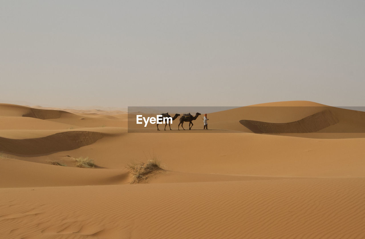 Man with camels at desert against sky