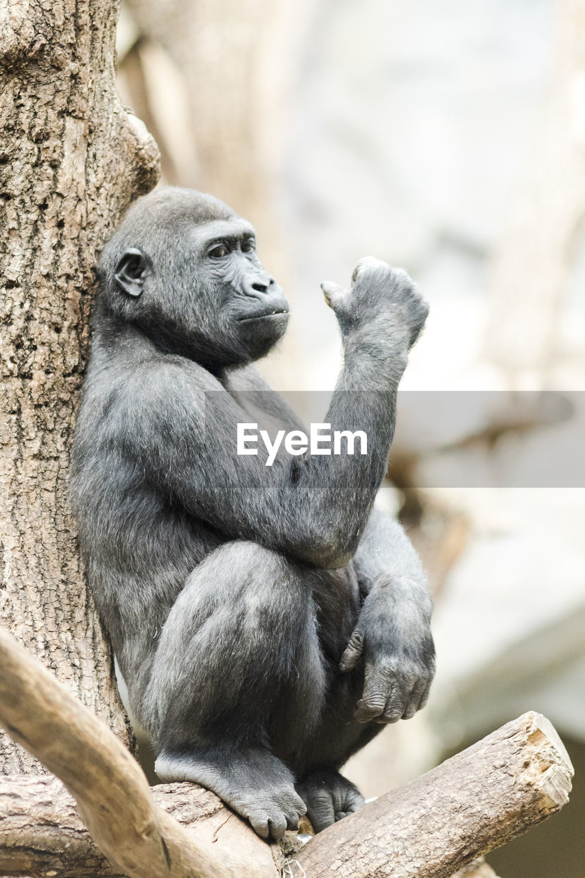 animal wildlife, primate, animal, animal themes, monkey, animals in the wild, mammal, focus on foreground, vertebrate, no people, sitting, one animal, day, tree, nature, looking, looking away, ape, low angle view, full length, outdoors, zoo