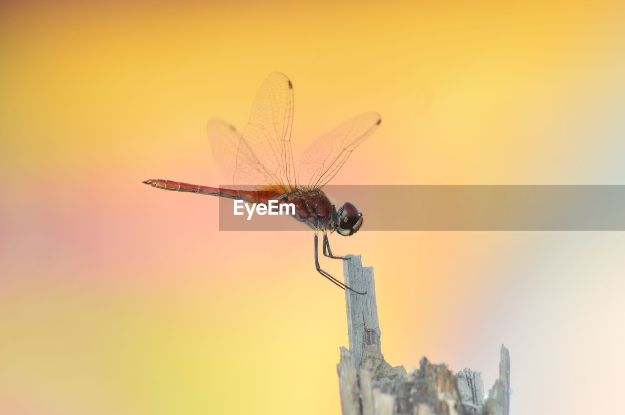 one animal, invertebrate, animal, orange color, animal wildlife, animal themes, insect, animals in the wild, nature, sky, sunset, no people, animal wing, focus on foreground, close-up, outdoors, beauty in nature, building exterior, selective focus, flying