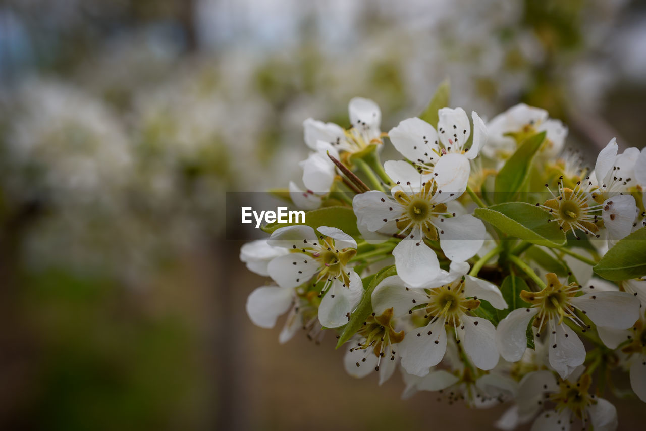 flower, flowering plant, plant, fragility, vulnerability, freshness, growth, beauty in nature, petal, close-up, white color, flower head, tree, inflorescence, nature, day, no people, blossom, springtime, focus on foreground, pollen, outdoors, cherry blossom, cherry tree
